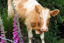 Cows-Mooo / by Janice Delaluz