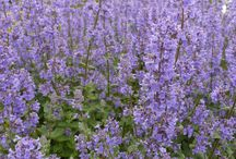 NEPETA / Nepeta is a genus of flowering plants in the family Lamiaceae also known as catmints. The genus name is reportedly in reference to Nepete, an ancient Etruscan city. There are about 250 species. Wikipedia
