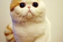 Snoopy-cat breed/exotic shorthair cat
