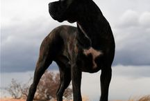 Cane Corso / by Megan Maher