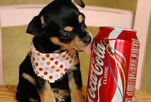 Miniature pinscher / Lovely dog