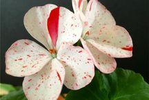 flori ghivece