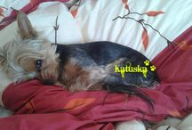 Teo / Yorkshire Terrier