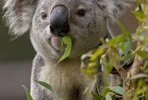 Australian animals / I find Australian animals