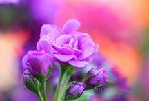 {purple haze}