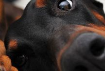 Doberman / Dobermans page is designed for dog owners is a passion! ♥