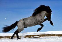 Icelandi horseshorses