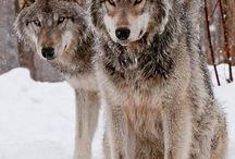wolfs beaty
