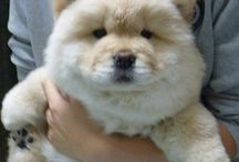 Puppies / Chowchow