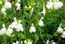 Salvia da fiore e ornamentali in vendita