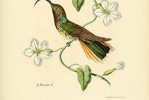Illustrations: Birds