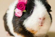 Marssvin/ guinea pig
