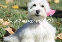 White Schnauzers / Beautiful White Schnauzers, it's easy to keep them snow white, just bath them every 2 weeks.