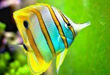 Marine fish / Reef
