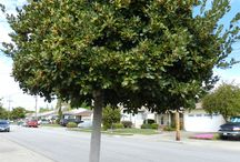 Front garden tree avenue