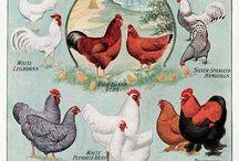 Chickens! Buccckkk! Buccckk!