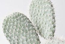Cactus & Suculentas / Plantas desérticas