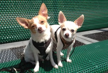 The Littles / #chihuahuas