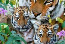 Tigre c ma life ❤️