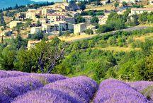 Levandule/ Lavender