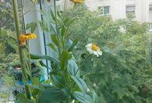 Balcony Garden 2015 / Pictures of plants from my balcony garden