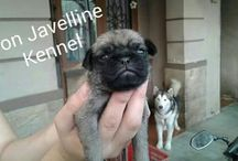 Ready for Booking Anjing Pug