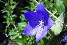 Balloon Flower (Platycodon grandiflorus) / All things related to Balloon Flower