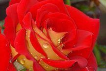 Flores e rosas, rosas e flores / Rosas...rosas ... rosas... Rosas formosas são rosas de mim Rosas a me confundir / Rosas a te confundir Com as rosas, as rosas, as rosas, de abril Rosas... rosas... rosas... Rosas mimosas são rosas de ti Rosas a me confundir / Rosas a te confundir Com as rosas, as rosas, as rosas de abril Rosas a me confundir / Rosas a te confundir São muitas...são tantas / São todas tão rosas