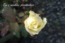 Rosas / .