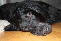 Flatcoated Retriever / Pictures of my flat Cero, and his lovely friends.