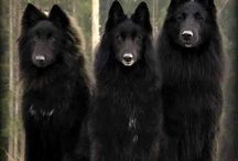 Wolves, foxes & dogs / Wolves & dogs