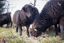 Schafe&Lammfleisch