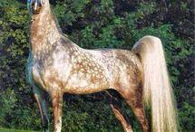 Cai arabi