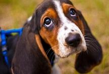 Basset Hounds / Beautiful Photos of our basset hounds Chauncey & Priscilla