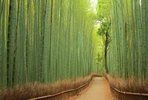 Famous Bamboo Forest of Sagano, in Japan