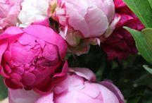 Bloemen Pioenroos