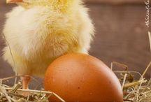 Baby Chicks / Raising Baby Chicks, Tips for Baby Chicks, Chickens