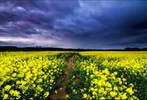 The Beauty Of Rapeseed Fields