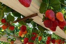 Grönsaker Frukt Odling