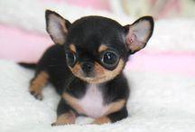 cutee chihuahua