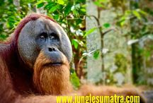 Sumatran Orangutan / www.junglesumatra.com wa +6281364108007