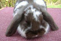 Rabbits / Rabbits, Bunnies, House Rabbits, Rabbit breeders, Rabbit gear,