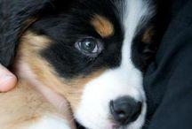 Bernsky salašnický pes