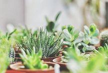 benefit succulents