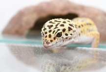 geco leopardino