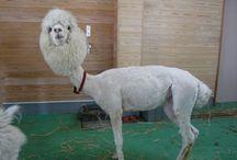llamas (and alpacas) / by Holly