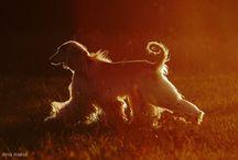 FCI Group 10 - Sighthounds / Afghan ---- Azawakh ---- Borzoi ---- Chart Polski ---- Greyhound ---- Hungarian Greyhound ---- Irish Wolfhound ---- Italian Greyhound ---- Saluki ---- Scottish Deerhound ---- Sloughi ---- Spanish Greyhound ---- Whippet / by Carstel Dogs