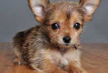 Chorkie Love / by Michelle Sneed
