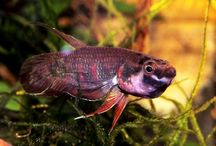 betta (mouthbreeding)