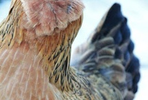 girls with style / chickens / by Megan Yelle van Hamersfeld